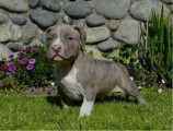 Pitbull Terrier Puppies For Sale