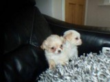 2 beautiful chihuahua cross poms