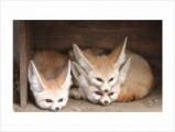 Adorable Fennec Fox for Adoption