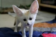 lovely and cute Fennec Fox ready to go now