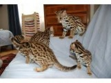F1 and F2 Savannah Kittens Available