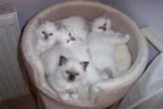 Birman Kittens Birman Kittens