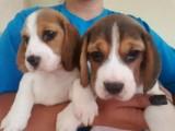 Beautiful Beagle Puppies