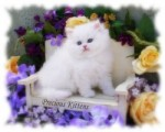 ADORABLE PERSIAN KITTENS FOR ADOPTION THIS X MASS.