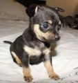 Beautiful Chihuahua Puppies available
