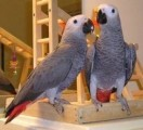 Adorable Africa Gray Parrots for Sale
