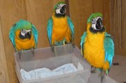 Baby Blue and Gold Conure Parrots