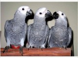 Tame Baby African Grey Parrots For Sale