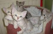 Australian Mist Kittens.