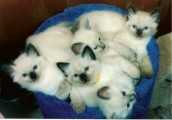 Pedigree Balinese Kittens