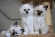 White Birman kittens