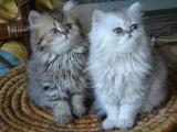 Bramble kittens for sale