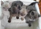Stunning Burmese Kittens