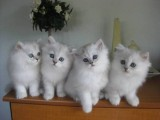 Burmilla Kittens Gccf Reg