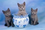 Grey Chartreux  Kittens
