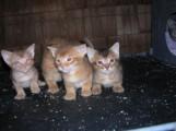 Chausie Kittens