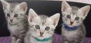 Beautifull Egyptian Mau Kittens