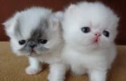 White Pedigree Exotic Kittens