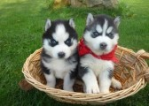 Blue Eyed Male And Female Siberian Husky Puppies For Sale
