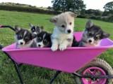 Adorable Pembroke Corgi Puppies For Sale