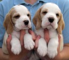 Stunning Beagle Puppies For Sale