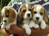 Cute and Charming Beagle Puppies