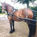 Stunning Ride And Drive Welsh Cob X For Sale