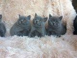 active british shorthair cats