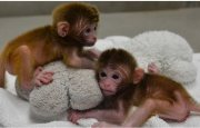 Capuchin  monkeys available for sale now!