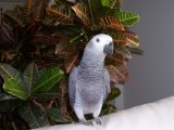 Talking African Grey Parrot Available for sale