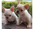 Excellent~Trained Gorgeous French Bulldog Puppies Available For Sale