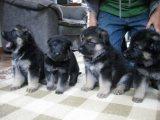 German Shepherd Puppies1