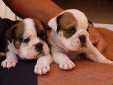 Multi colored X mas English Bulldog puppies