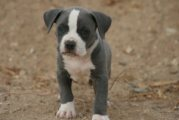 Lovely American Pitbull terrier puppies for sale now