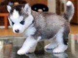 Lovely Akc Pomsky Puppies Ready For sale