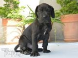 Amazing Great Dane Puppies for sale