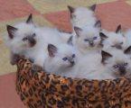 Ragdoll Kittens Ready For Sale
