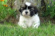 Health Shih tzu Puppies available