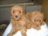 Red toy Poodle Puppies Available