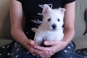 Male And Female playful west highland terrier puppies for sale