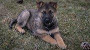 Puppies - German Shepherd for sale