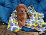 akc fox red labs Puppies for sale