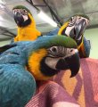 Blue & gold Macaw  hand raised Parrots for sale