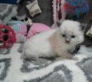 Ragdoll Munchkin Kittens for rehoming