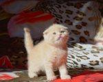 Scottish fold kitten for new home