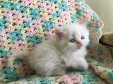 Himalayan Kittens seeking a new home
