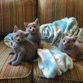 Russian Blue Kittens seeking a new home