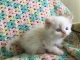 Persian/Himalayan Kittens seeking a new home