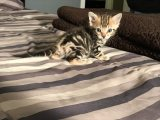 Bengal kittens for a new home