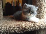European Shorthair kitten for a new home